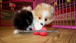 Pomeranian Puppies For Sale Georgia