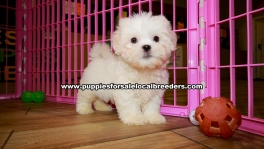 White Malti Tzu Puppies For Sale Georgia