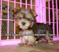 Gold Yorkie Puppies For Sale Georgia