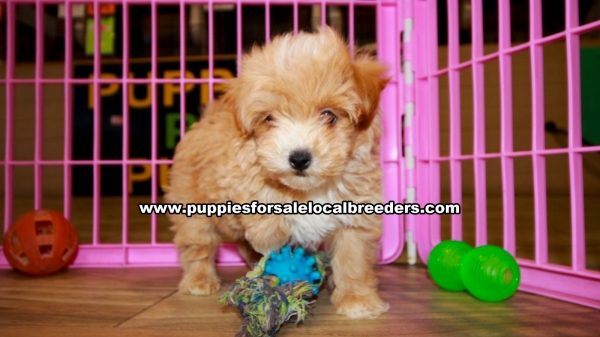 Red Pomapoo Puppies For Sale Georgia