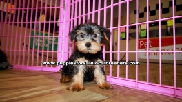 Yorkie Poo Puppies For Sale Georgia