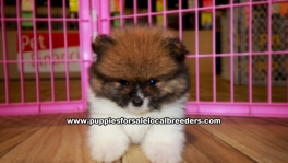 Pomeranian Puppies for sale Ga
