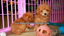 Red Toy Poodle Puppies For Sale Georgia