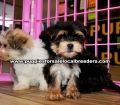Morkie Puppies For Sale Georgia