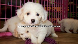 White Cavachon Puppies For Sale Georgia