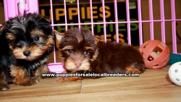 Chocolate Yorkie Puppies For Sale Georgia