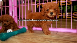 Red Cavapoo Puppies For Sale Georgia