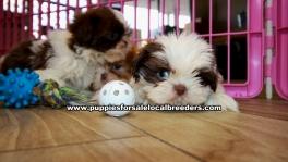 Chocolate Shih Tzu Puppies For Sale Georgia