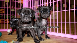 Black Pug Puppies For Sale Georgia