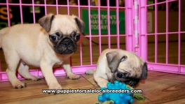 Fawn Pug Puppies For Sale Georgia
