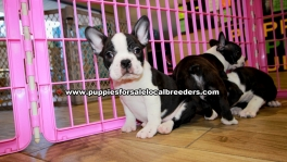 Frenchton Puppies For Sale Georgia