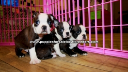 Boston Terrier Puppies For Sale Georgia Atlanta