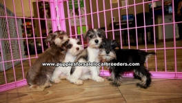 Mini Schnauzer Puppies For Sale Georgia Atlanta