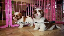 Chocolate Shih Tzu Puppies For Sale Georgia Atlanta