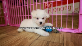 Bichon Frise Puppies For Sale Georgia