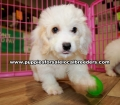 Cavachon Puppies For Sale Georgia Atlanta
