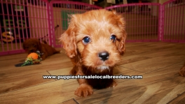Red Cavapoo Puppies For Sale Georgia Atlanta