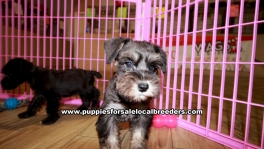 Schnoodle Puppies For Sale Georgia