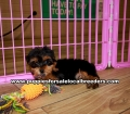 Teacup Yorkie Puppies For Sale Georgia Atlanta