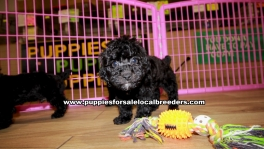 Black Toy Poodle Puppies For Sale Georgia
