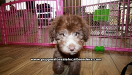 Chocolate Toy Poodle Puppies For Sale Georgia