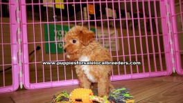 Red Toy Poodle Puppies For Sale Georgia Atlanta