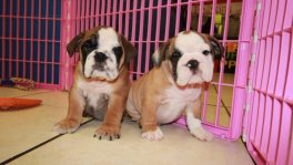 English Bulldog Puppies For Sale near Warner Robins, Ga