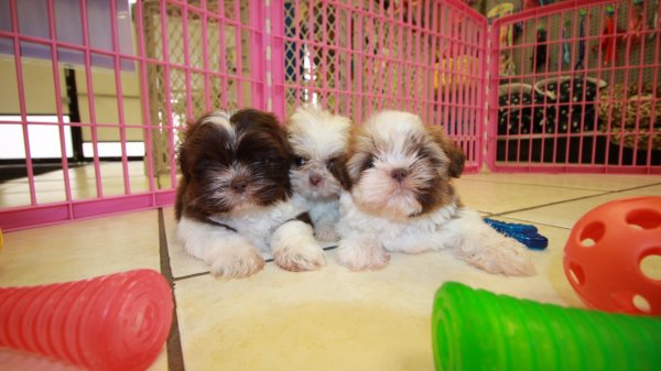 Adorable Imperial Shih Tzu Puppies For Sale Near Atlanta Ga At Puppies For Sale Local Breeders