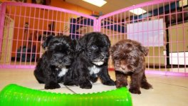 malti poo puppies for sale ga maltese toy poodle designer breed