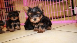Teacup Toy Yorkie Puppies For Sale near Kennesaw, Ga