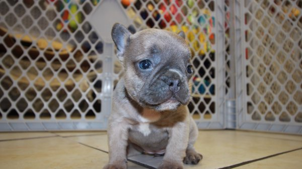 Lilac French Bulldog Puppies For Sale In Ga Puppies For Sale