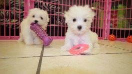 Teacup Maltese Puppies For Sale near Peachtree Corners, Ga