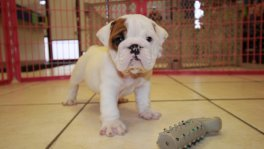 English Bulldog Puppies For Sale near Albany, Ga