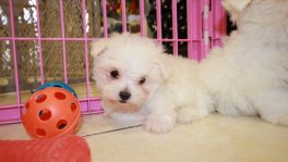 Teacup Maltese Puppies For Sale near Dunwoody, Ga