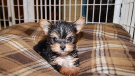 Teacup Toy Yorkie Puppies For Sale near Dalton, Ga