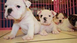 English Bulldog Puppies for sale Ga