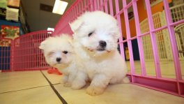 Teacup Maltese Puppies For Sale near Brookhaven, Ga