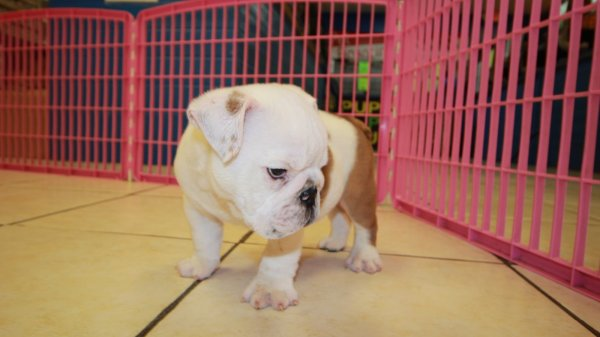 Sweet, English Bulldog Puppies For Sale near me, at ...
