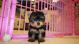 Teacup Toy Yorkie Puppies For Sale near Peachtree City, Ga