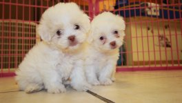 white maltipoo puppies for sale puppies for sale Georgia Local Breeders
