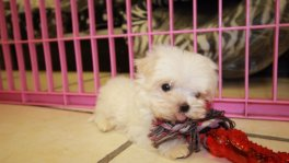 Teacup Maltese Puppies For Sale near Smyrna, Ga