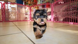 Teacup Toy Yorkie Puppies For Sale near Evans, Ga