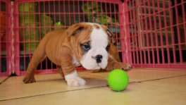 English Bulldog Puppies for sale Georgia,