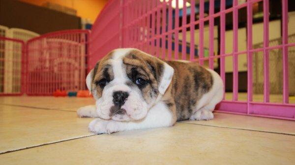 White Amp Brindle English Bulldog Puppies For Sale Atlanta