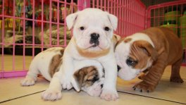 English Bulldog Puppies for sale Atlanta,