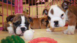 English Bulldog Puppies For Sale near Columbus, Ga