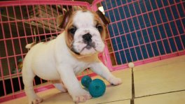 English Bulldog Puppies For Sale near Atlanta, Ga