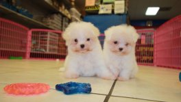 Teacup Maltese Puppies For Sale near Valdosta, Ga