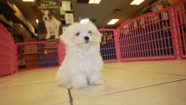 Teacup Maltese Puppies For Sale near Marietta, Ga