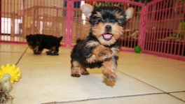Teacup Toy Yorkie Puppies For Sale near Martinez, Ga